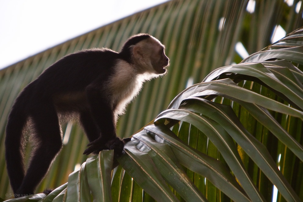 A Capucin monkey passed by with his family around. It's incredible to see how fast they can climb and jump from tree to tree.